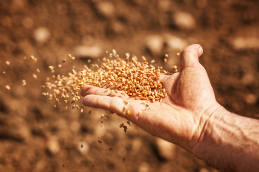 High Quality Wheat Seed Distributed Among Growers. - E Agriculture Service  for Farmers – Bakhabar Kissan